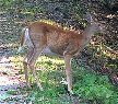 Picture of a whitetail deer